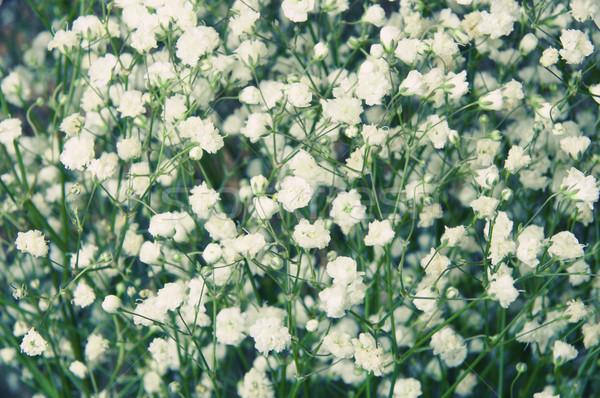 Witte mooie geurig bloem natuur Stockfoto © papa1266