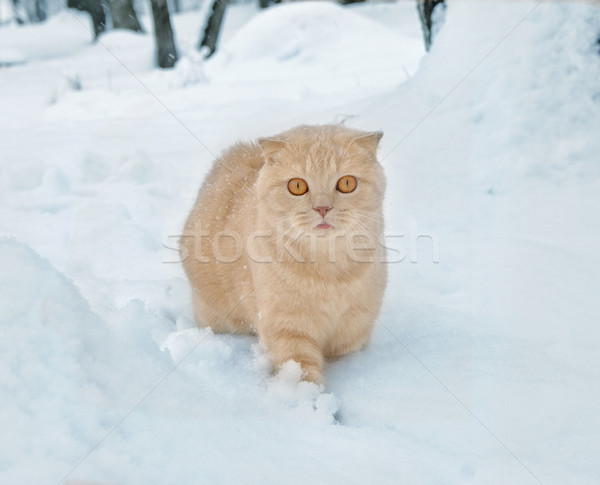 Scottish Fold cat Stock photo © papa1266