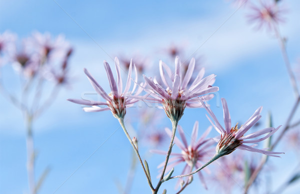 Daisy fleur peu bouquet ciel bleu printemps Photo stock © papa1266