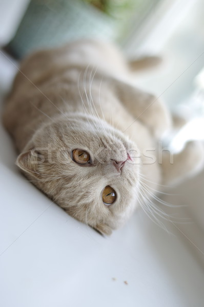 kitten lying on back Stock photo © papa1266