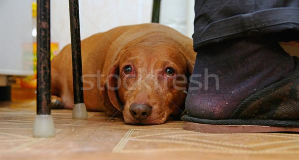 Teckel triest naar camera Rood vloer Stockfoto © papa1266