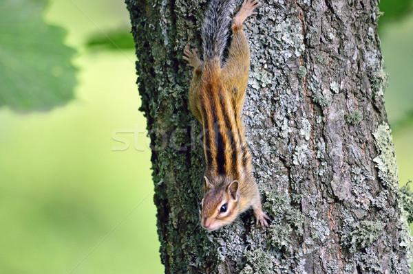 Küçük çizgili sincap oturma ağaç izlemek Stok fotoğraf © papa1266