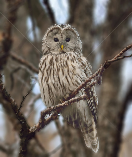 Great grey owl (Strix nebulosa) Stock photo © papa1266