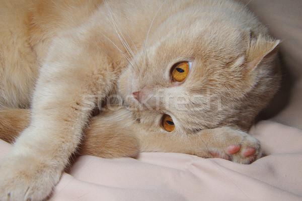 Krémes hat hónapok macska háttér állat Stock fotó © papa1266