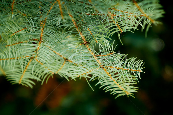 Close up of spruce branch, horizontal orientation. Stock photo © pashabo