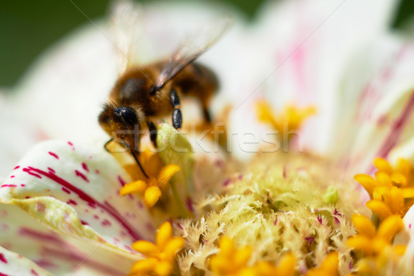 Bee on flower collects nectar, closeup macro shot. Stock photo © pashabo