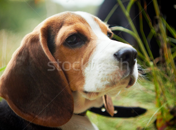 Cute beagle puppy shot ondiep Stockfoto © pashabo