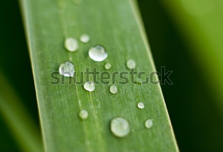 Bulrush leaf with water drops. Stock photo © pashabo
