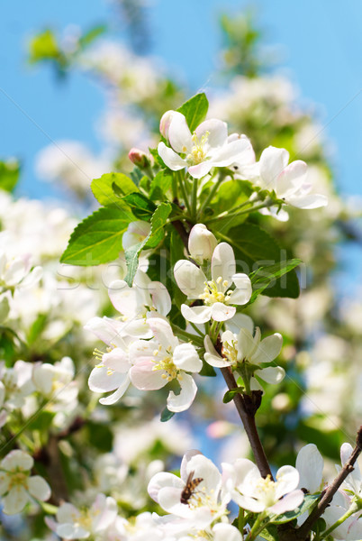Flowering branch of apple at spring time, closeup, vertical comp Stock photo © pashabo