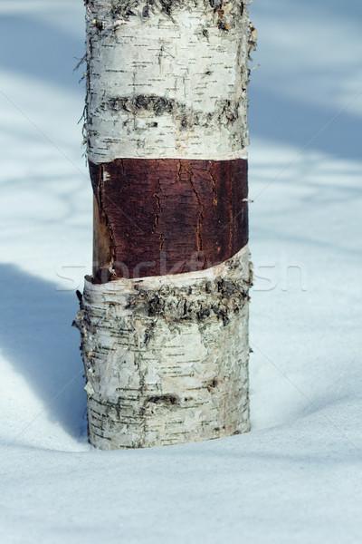 Abedul primer plano tiro madera invierno blanco Foto stock © pashabo
