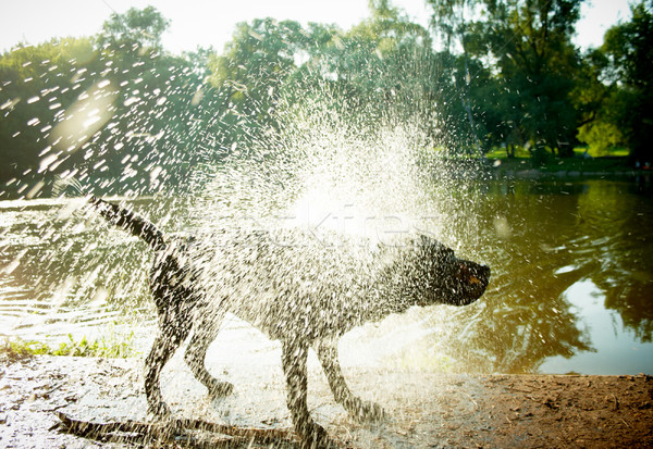 Labrador Shaking Water off its Body Stock photo © pashabo