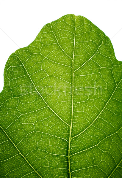 Top of an oak leaf, isolated on white, closeup. Stock photo © pashabo