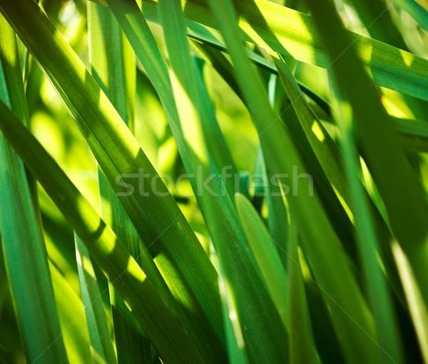 Green Bulrush Closeup. Reeds background. Stock photo © pashabo