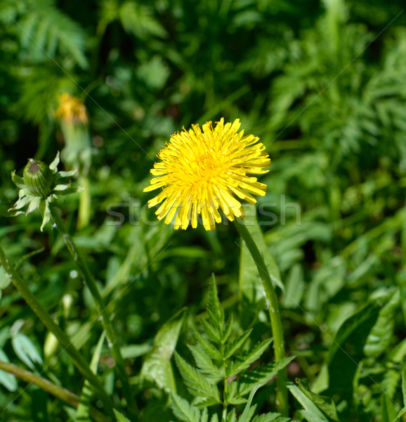 Coltsfoot flower closeup. Stock photo © pashabo