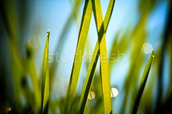 fresh grass against blue sky Stock photo © pashabo
