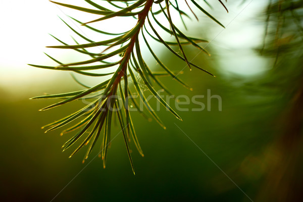Detail of larch branch. Shallow DOF. Stock photo © pashabo