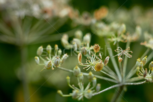Withered cow parsnip. Shallow DOF. Stock photo © pashabo
