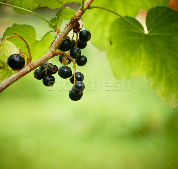 Bunch of currants with a little garden bugs in Focus. Shallow DO Stock photo © pashabo