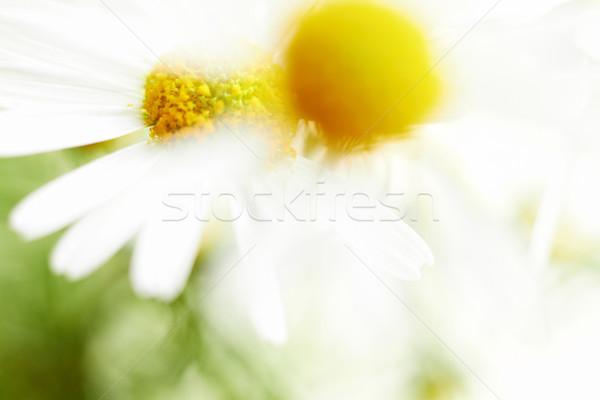 Chamomile flowers. Defocused closeup shot. Stock photo © pashabo