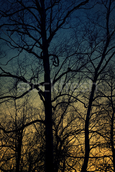 Silhouette of birch tree with scary branche. Sunset time. Stock photo © pashabo