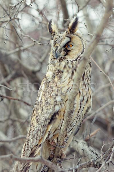 Owl closeup shot Stock photo © pashabo