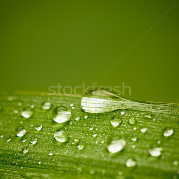 Reeds leaf with water drops on it. With space for text. Stock photo © pashabo