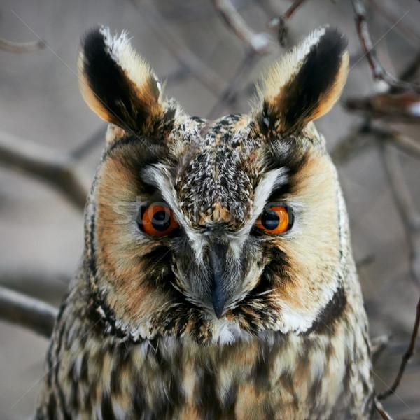 Screech-owl portrait. Stock photo © pashabo