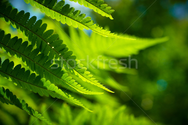 Fresh green fern leaves (shallow depth of field) Stock photo © pashabo