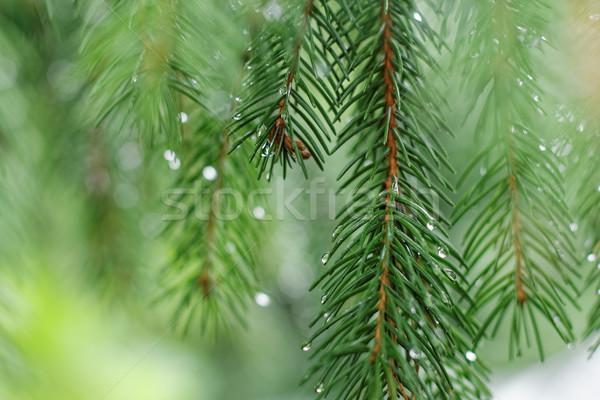 Tűlevelű faág vízcseppek makró lövés fa Stock fotó © pashabo