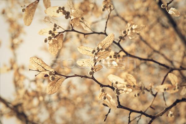 linden blossom, closeup toned shot Stock photo © pashabo