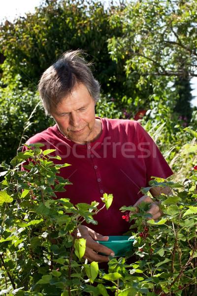 Active elderly man in his garden harvest red currants Stock photo © Pasiphae