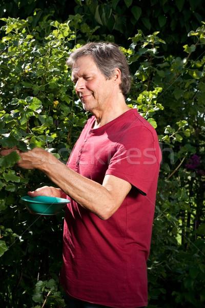 Active elderly gentleman in his garden is picking berries Stock photo © Pasiphae