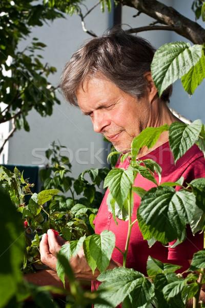 привлекательный старший человека саду малина Сток-фото © Pasiphae