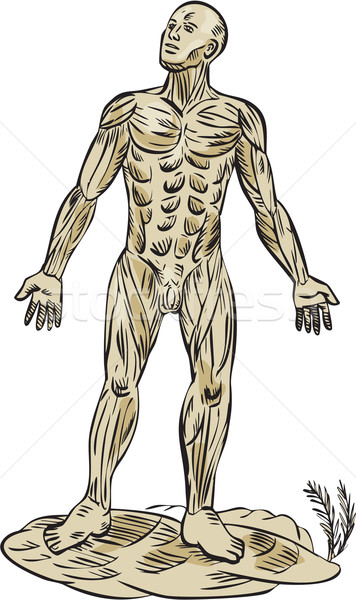 Human Muscle Anatomy Etching Stock photo © patrimonio