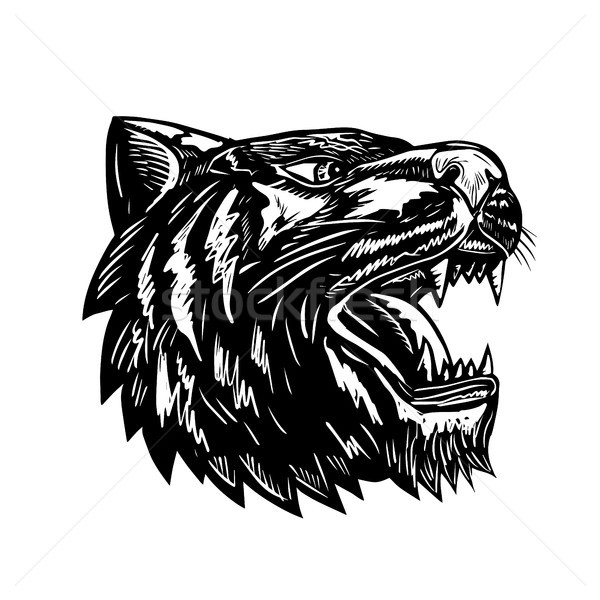 Tiger Growling Scratchboard  Stock photo © patrimonio