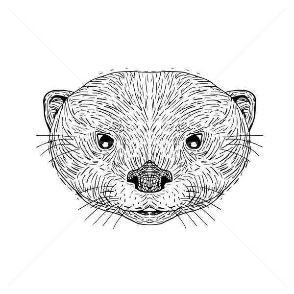 Asian Small-Clawed Otter Head Drawing Stock photo © patrimonio