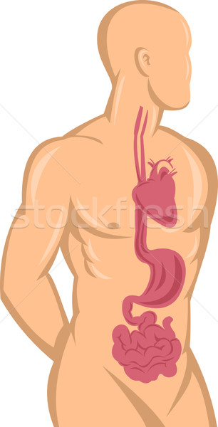 Human anatomy showing heart and digestive system Stock photo © patrimonio