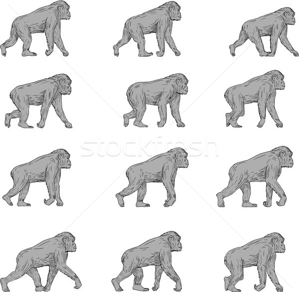 Chimpansee lopen cyclus collectie ingesteld illustraties Stockfoto © patrimonio