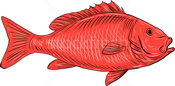 Australasian Snapper Swimming Drawing Stock photo © patrimonio