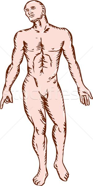 анатомии мужчины Постоянный иллюстрация рук сторона Сток-фото © patrimonio