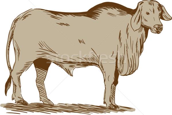 Brahman Bull Drawing Stock photo © patrimonio