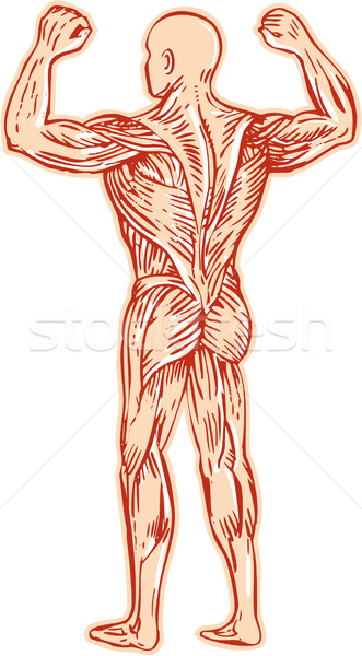 Human Muscular System Anatomy Etching Stock photo © patrimonio