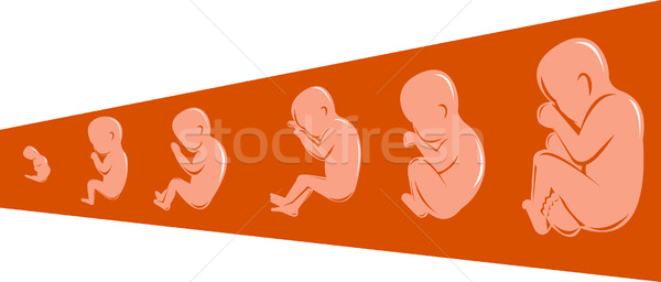 human fetus from 8 to 40 weeks Stock photo © patrimonio