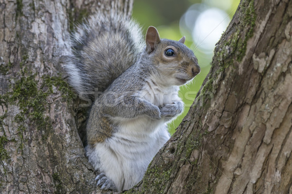 Gray Squirrel Resting in a Tree Stock photo © paulfleet