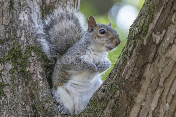 Gris ardilla árbol sesión Foto stock © paulfleet