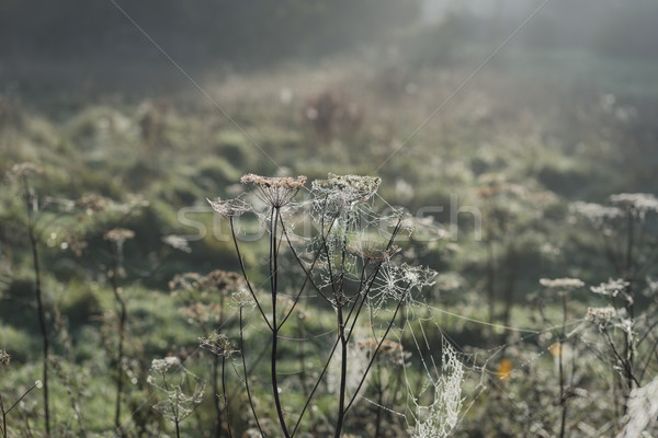 Misty matin toile d'araignée nature Photo stock © paulfleet