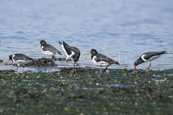 Group of Oystercatchers Stock photo © paulfleet