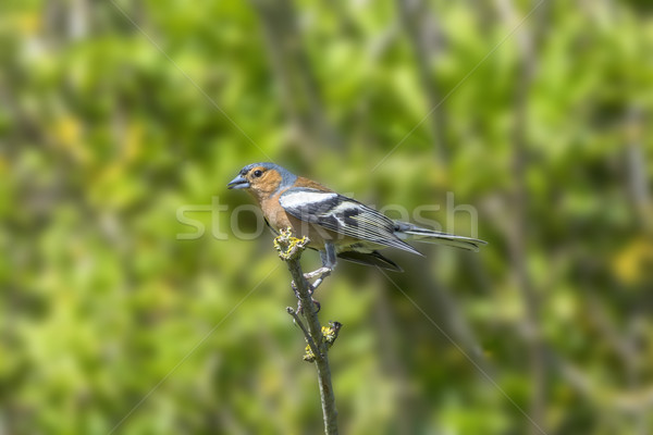 Chaffinch Perched on a Branch Stock photo © paulfleet