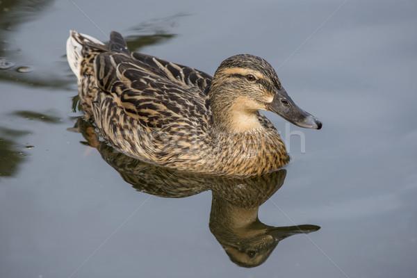 Female Mallard Duck Stock photo © paulfleet