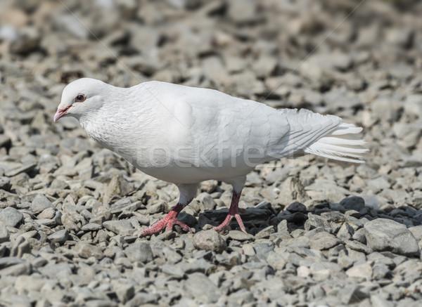 White Release Dove Stock photo © paulfleet